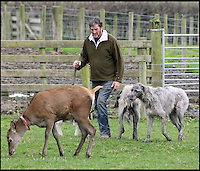 BNPS.co.uk (01202 558833)<br /> Pic: DavidFitzgerald/BNPS<br /> <br /> Kenny walking roe deer Yanna and his two Irish wolfhound-deerhound cross' Murphy and Hennessy.<br /> <br /> Supplying farm animals to TV and film crews, including the huge hit series Game of Thrones, has saved Kenny Gracey's bacon.<br /> <br /> The 57-year-old farmer started supplying pigs, cows, donkeys, goats and even a trained deer to Hollywood seven years ago, when the recession was hitting his business hard.<br /> <br /> Mr Gracey said the film work his animals get has helped him pay the bills and keep his business going.<br /> <br /> Forthill Farm in Tandragee, Northern Ireland, specialises in traditional breeds like Longhorn cattle and Gloucestershire old spot pigs, ideal for shows and films set in medieval times.