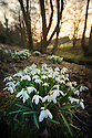 Clump of Snowdrops {Galanthus nivalis} flowering in woodland. Near village of Birchover,  Peak District National Park, Derbyshire. March