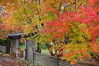 Japanese maple (Acer palmatum)  in autumn by lattice entry gate Marin Art & Garden Center