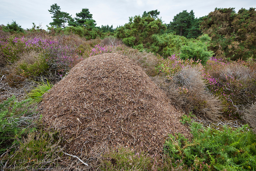 Wood Ant {Formica rufa} nest on heathland. Dorset, UK. August.