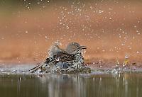 Long-billed Thrasher (Toxostoma longirostre), adult bathing, Rio Grande Valley, South Texas, Texas, USA