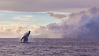 Humpback whale breaching off the coast of Maui, with Lanai in the background