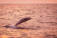 Hawaiian spinner dolphin, Stenella longirostris longirostris, jumping at sunset, Kona Coast, Big Island, Hawaii, USA, Pacific Ocean