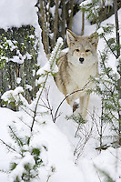 Coyote peering out from behind a snow-covered stump - CA