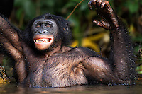 Bonobo mature male aged 15 years scratching his back while submerged in water (Pan paniscus), Lola Ya Bonobo Sanctuary, Democratic Republic of Congo.