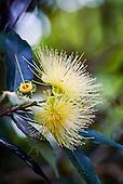 fleur de Syzygium Jambo (pomme rose)