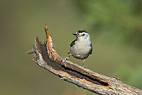 561250016 a wild white-breated nuthatch sitta carolinensis tenussuma perches on a branch in madera canyon green valley arizona united states