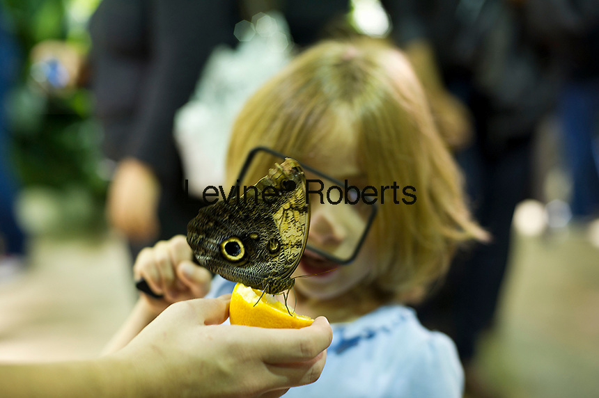 """A child from the Goddard Riverside Head Start Program observe an owl butterfly (caligo eurilochus) in """"The Butterfly Conservatory:  Tropical Butterflies Alive in Winter"""" at the American Museum of Natural History in New York on Thursday, October 6, 2011.  500 butterflies hover above the visitors in the 1200 square foot  vivarium where children and adults can observe and play amongst the flying beauties.  (© Frances M. Roberts)"""