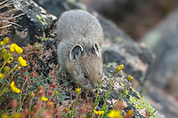 Young American pika (Ochotona princeps) eating a cinquefoil flower.  Beartooth Mountains, Wyoming/Montana border.  Summer.  This photo was taken in alpine setting at around 11,000 feet (3350 meters) elevation.  (Looks almost mousey or vole like in this image.)