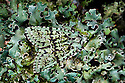 Merveille-du-Jour moth {Dichonia aprilina}, camouflaged on lichen. Derbyshire, UK. October.