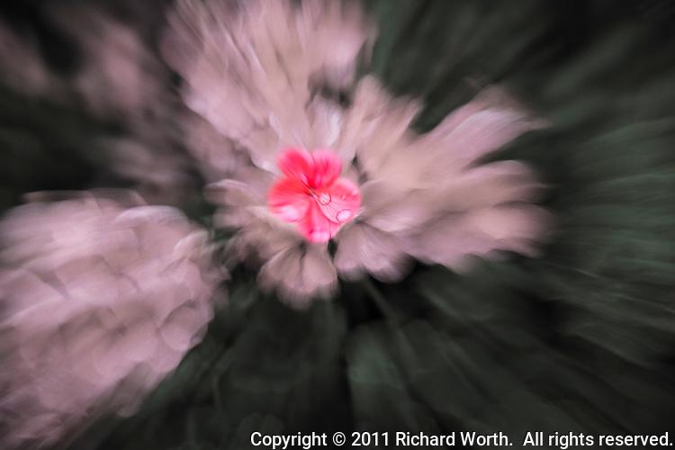 An abstract of geraniums after a rainshower.