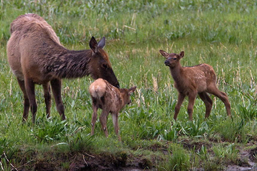 Elk (Cervus canadensis) calves are born to play.  As soon as they have their feet under them they are out looking for playmates. Here, the calf on the left looks like he might need a little more time to find his legs.