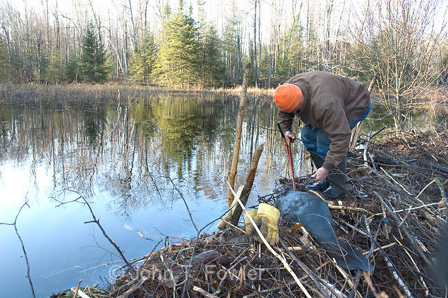 how to build a beaver trap