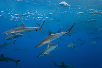 RM0672-D. Silky Sharks (Carcharhinus falciformis), dozens gathered together to feed on small fish in baitball. (Bait likely includes juvenile Dolphinfish, Coryphaena hippurus, and maybe Green Jacks, Caranx caballus). Baja, Mexico, Pacific Ocean. <br /> Photo Copyright &copy; Brandon Cole. All rights reserved worldwide.  www.brandoncole.com