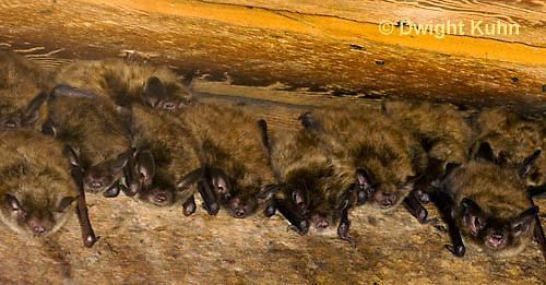 MA20-520z  Little Brown Bats, Myotis lucifugus