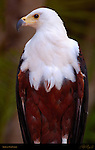 African Fish Eagle, African Sea Eagle