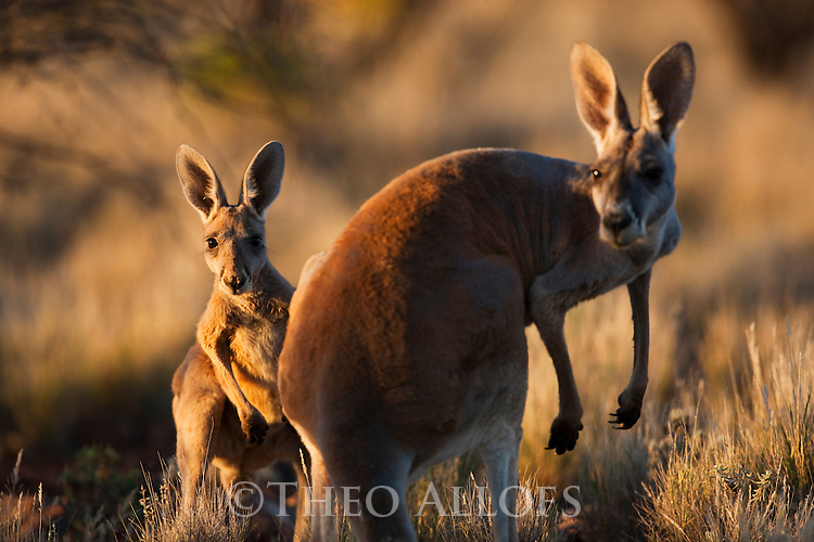 Australia,  NSW, Sturt National Park; red kangaroo female and joey(Macropus rufus); the red kangaroo population increased dramatically after the recent rains in the previous 3 years following 8 years of drought