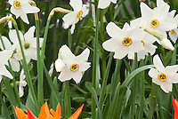 spring bulbs Tulips, Paperwhite narcissus Actaea and Tulipa Ballerina