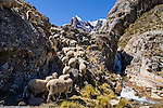 Sheep flock up the trail by a waterfall in Huanacpatay Valley under Nevado Cuyoc (Puscanturpa Sur, 5550 meters) in Cordillera Huayhuash in the Andes Mountains, Peru, South America. Day 6 of 9 days trekking around the Cordillera Huayhuash.