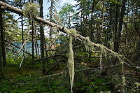 Old Man's Beard moss clings to the thick Boreal forest of Isle Royale National Park.