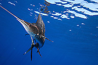 qh1494-D. Atlantic Sailfish (Istiophorus albicans) feeding on sardines. Some consider this the same species as the Indo-Pacific Sailfish (I. platypterus). Mexico, Gulf of Mexico..Photo Copyright © Brandon Cole. All rights reserved worldwide.  www.brandoncole.com..This photo is NOT free. It is NOT in the public domain. This photo is a Copyrighted Work, registered with the US Copyright Office. .Rights to reproduction of photograph granted only upon payment in full of agreed upon licensing fee. Any use of this photo prior to such payment is an infringement of copyright and punishable by fines up to  $150,000 USD...Brandon Cole.MARINE PHOTOGRAPHY.http://www.brandoncole.com.email: brandoncole@msn.com.4917 N. Boeing Rd..Spokane Valley, WA  99206  USA.tel: 509-535-3489