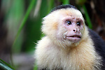 Central America, Costa Rica, Manuel Antonio. Capuchin, or White-Faced Monkey at  Manuel Antonio National Park.