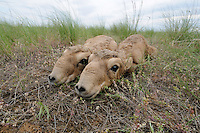 Mission: Saiga.Saiga (Saiga tatarica) newborn calves lie in the steppe grasses of Cherniye Zemly (Black Earth) Nature Reserve, Kalmykia, Russia, May 2009.Saiga tatarica