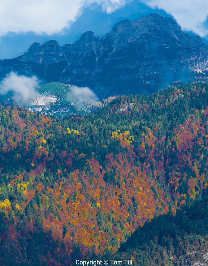 Larch tree forest in the Dolomites, Dolomiti D'Ampezzo National Park, Italy,  Italian Alps