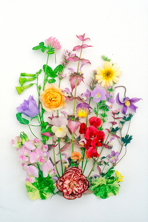 Studio Scans of cut flower arrangements on white backgrounds, spring flowers for pressed flowers, sweetpeas Lathyrus odoratus, ranunculus, Dianthus, Campanula, Allium chives herbs, clematis, nasturtium foliage Tropaeoleum, Viola pansies, Salvia, Nicotiana, picked
