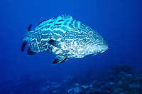 FISH<br /> Grouper<br /> Groupers are teleosts, typically having a stout body and a large mouth. They are not built for long-distance fast swimming.