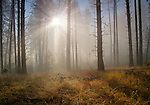 Washington, Eastern, Colville. Little Pend Oreille Wildlife Refuge. Morning Sun rays through smoke and pine trees.
