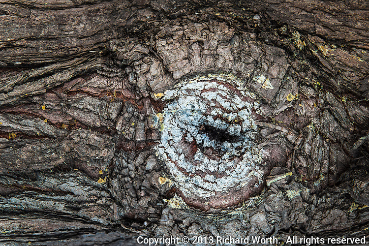 A knot on a tree, painted by lichen and surrounded by rough craggy, wrinkled bark.   Easily imagined as an eye, a very tired and very old  eye, watching you pass by.