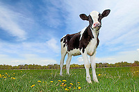 Holstein cow in a field at a northern Colorado dairy farm.