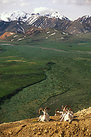 Dall sheep ram, Polychrome pass, Alaska mountain range, Denali National Park, Alaska.