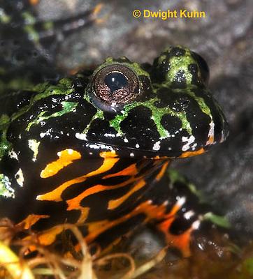 FR24-524z    Oriental Fire Bellied Toad, Bombina orientalis