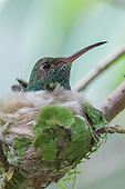 Rufous-tailed Hummingbird (Amazilia tzacatl) on nest, Costa Rica.
