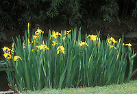 Iris pseudacorus at water's edge
