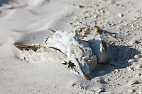 Royal Tern bird, Sterna maxima, dead on the beach at Anna Maria Island, Florida, United States of America