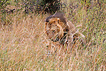 Africa, Kenya, Masai Mara. Lions mating in the Mara.