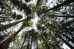 Trees overhead. Campbell river,Vancouver Island, British Columbia, Canada.