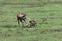 694207019 an endangered adult african wild dog lycaon pictus plays with a young pup on the open serengeti plain in tanzania in east africa