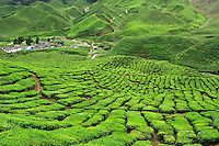 Tea plantation, Cameron Highlands, West Malaysia
