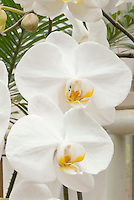 Phalaenopsis Oriental Dream (white) Orchids