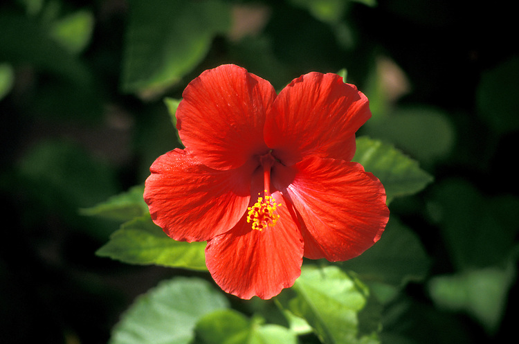 Bahamas: Colorful Caribbean flower, flora, hibiscus.  Photo: bahama102.Photo copyright Lee Foster, 510/549-2202, lee@fostertravel.com, www.fostertravel.com