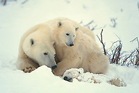 Polar Bear in winter