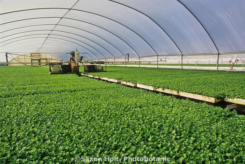 Celery seedlings being groomed in preparation for mechanical field planting