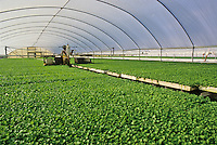 Celery seedlings being groomed in preparation for mechanical field planting