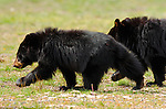 Black Bear Cubs, Roosevelt Lodge, Yellowstone National Park, Wyoming