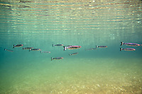 Whitetail Shiners<br />