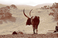 These majestic creatures live in the hills of Santa Ynez Valley, California where you can spot the longhorns from a mile away.